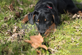 Cute Rottweiler puppy laying in the grass