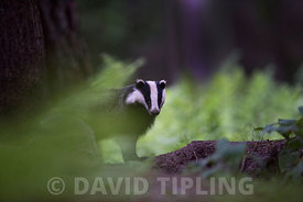 Badger Meles meles just emerged from sett on a summer evening in June Norfolk