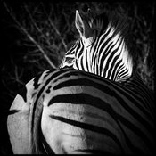 1633-Back_of_zebra_Laurent_Baheux
