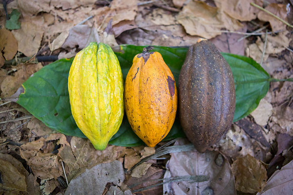 Organic and fair trade cocoa from Sao Tome
