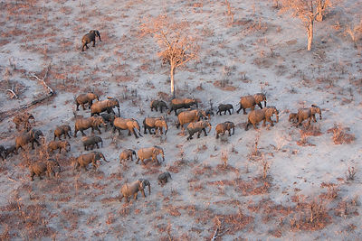 Aerial view of African elephants (Loxodonta africana) migrating across parched landscape in their search for food and water d...