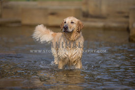 golden retreiver in fountain water
