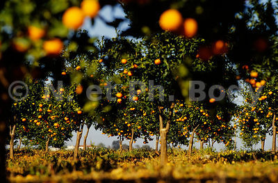 PORTUGAL, ORANGERS//PORTUGAL, ORANGE TREES