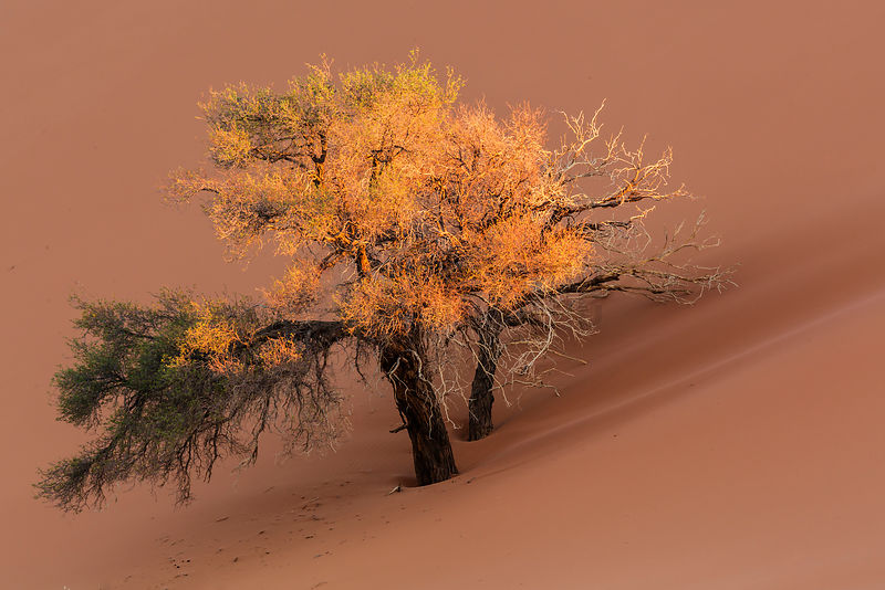 Camelthorn Tree against Namib Dune