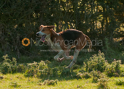 A fox hound running