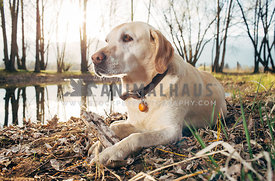 yellow labrador retriever with stick lying near pond and trees