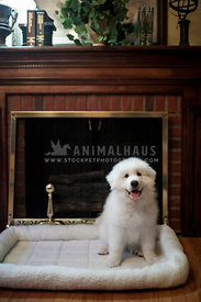 happy fluffy white great pyrenees puppy sitting in front of fireplace on dog bed