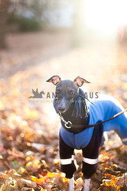 Italian Greyhound dressed for winter in Norway, at a park full of brown leaves