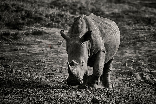 Portrait of a White Rhino on the Move