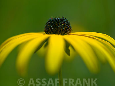 Coneflower close-up