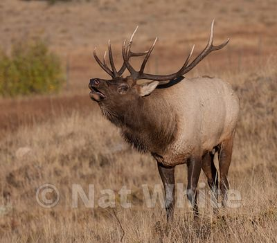 Elk-RMNP--_NAW1853-October_09_2015