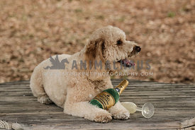 Goldendoodle with champagne