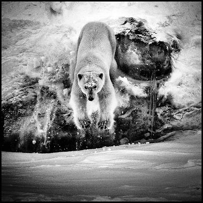 4954-Polar_bear_is_coming_Svalbard_2014_Laurent_Baheux