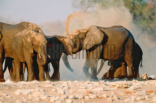 Elephants Dust Bathing