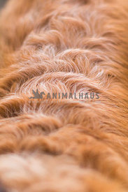 close up wavy fur detail on a golden retriever