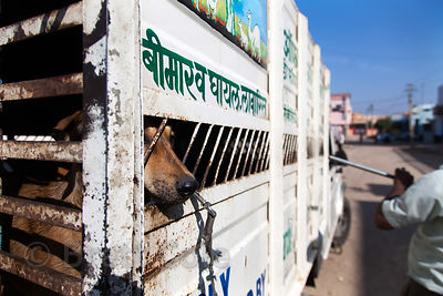 Workers for the NGO Tree of Life for Animals (tolfa.org.uk) in Pushkar, India release rehabilitated dogs back into the city o...