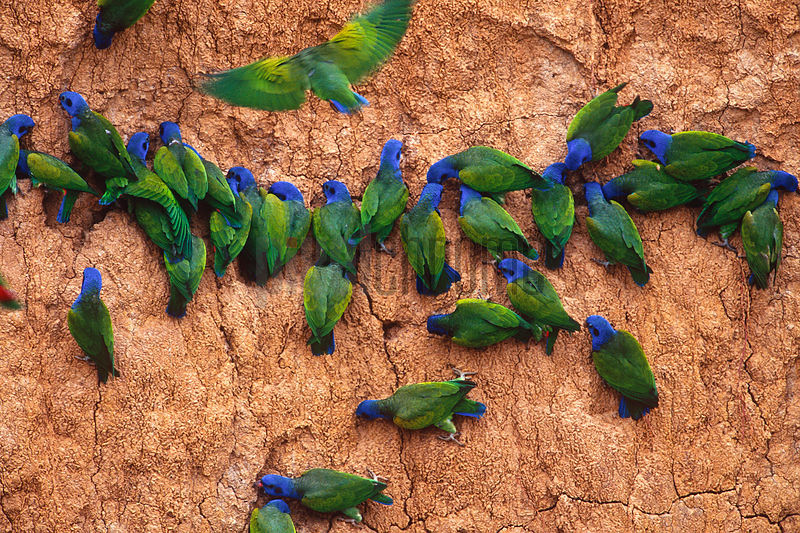 blueheaded_parrots