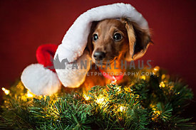 dachshund during christmas with santa hat on wreath