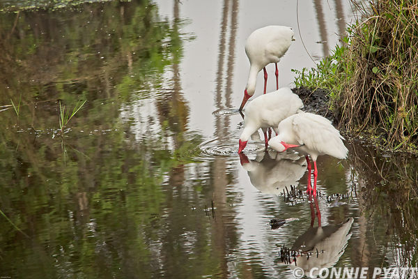 White Ibis, St. Petersburg, FL