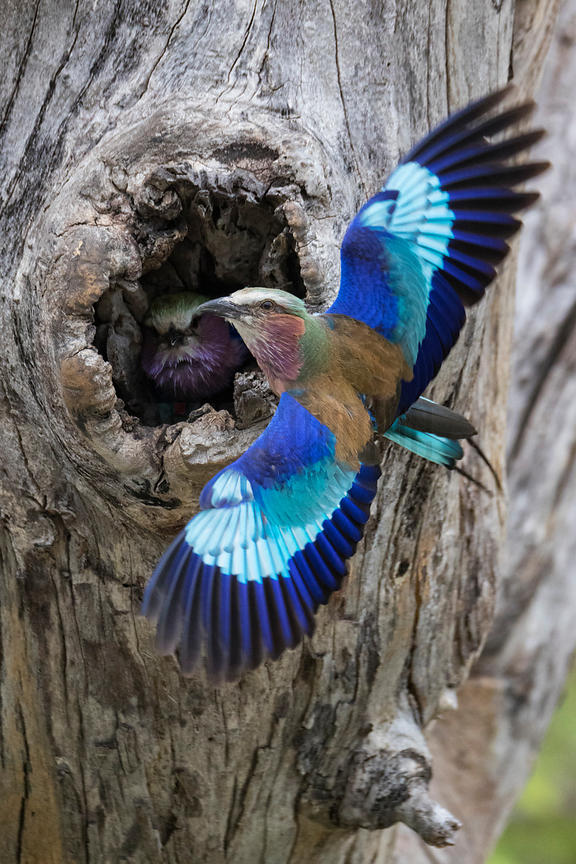 Lilac-breasted Roller Returning to Nest