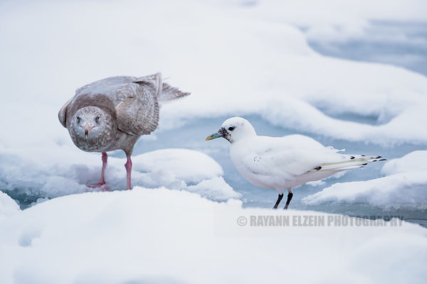 The children (juvenile ivory gull and glaucous gull)