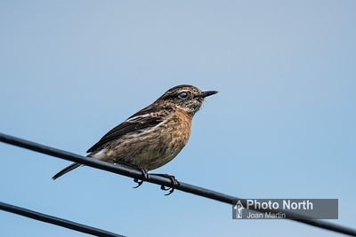 STONECHAT 01A - Female stonechat