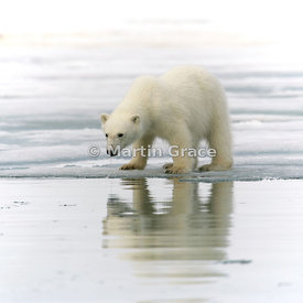 Young (about 18 months old) ear-tagged female Polar Bear (Ursus maritimus) drinking, Holmiabukta, Svalbard