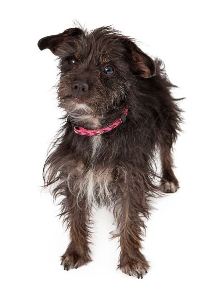 Terrier Female Mixed Breed Wire-haired