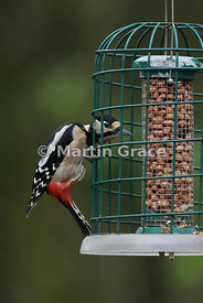 Female Great Spotted Woodpecker (Dendrocopos major) on a peanut feeder with guardian to exclude squirrels and larger birds, L...