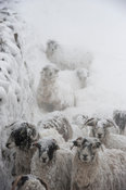 Sheep sheltering at the back of a wall during a snowstorm. Cumbria, UK