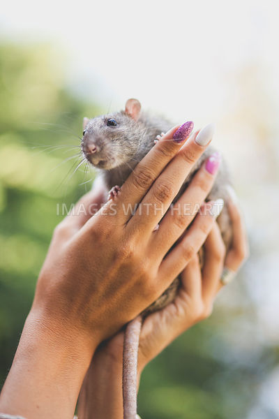 Sweet rat cupped in woman's hands