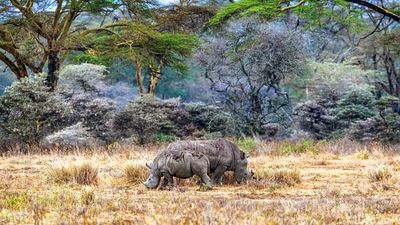 Mother and Baby White Rhinos in Lake Nakuru