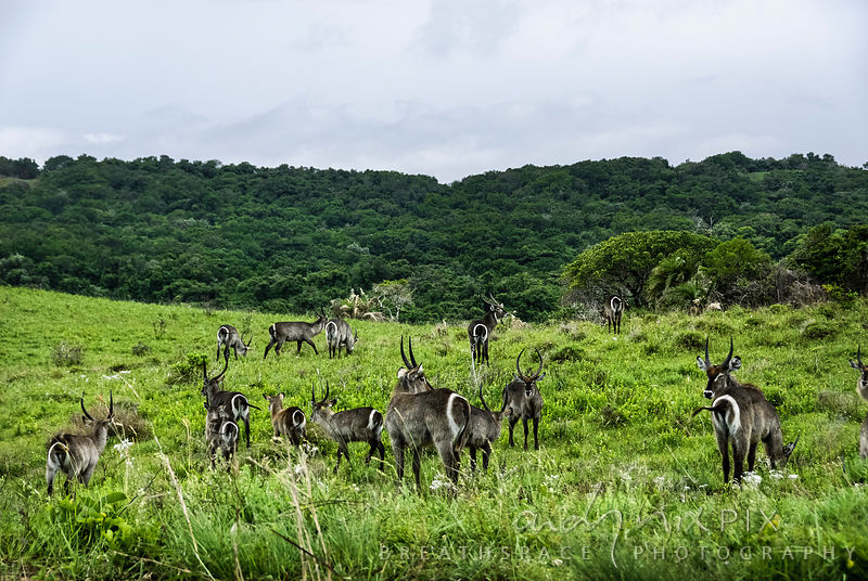 Herd of waterbuck