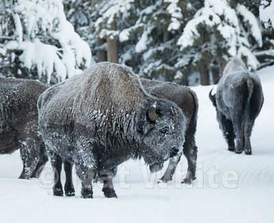 Bison_in_Snow-1285_January_21_2018_Nat_White