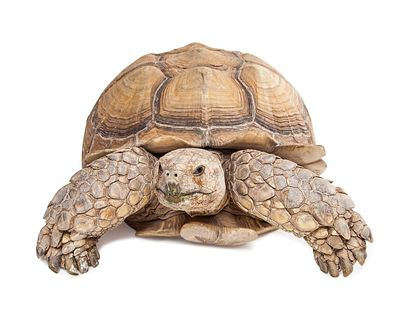 Sulcata Tortoise Crawling Forward