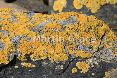 Yellow lichen on coastal rock, Saunders Island, Falkland Islands