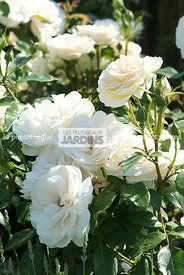 Rosa 'Lion Rose'® (Rose). Globe Planter