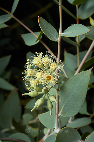 Eucalyptus gillii or Curly Mallee