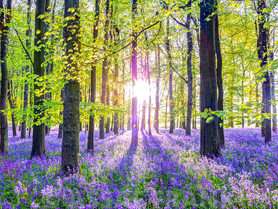 Bluebells Forest