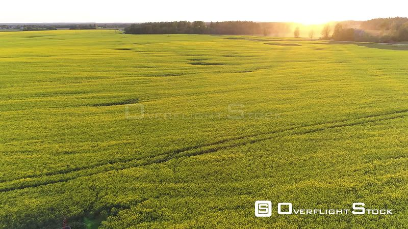 Aerial drone shot flying over a rapeseed field into the sunset