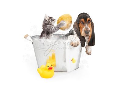 Kitten Washing Basset Hound in Tub