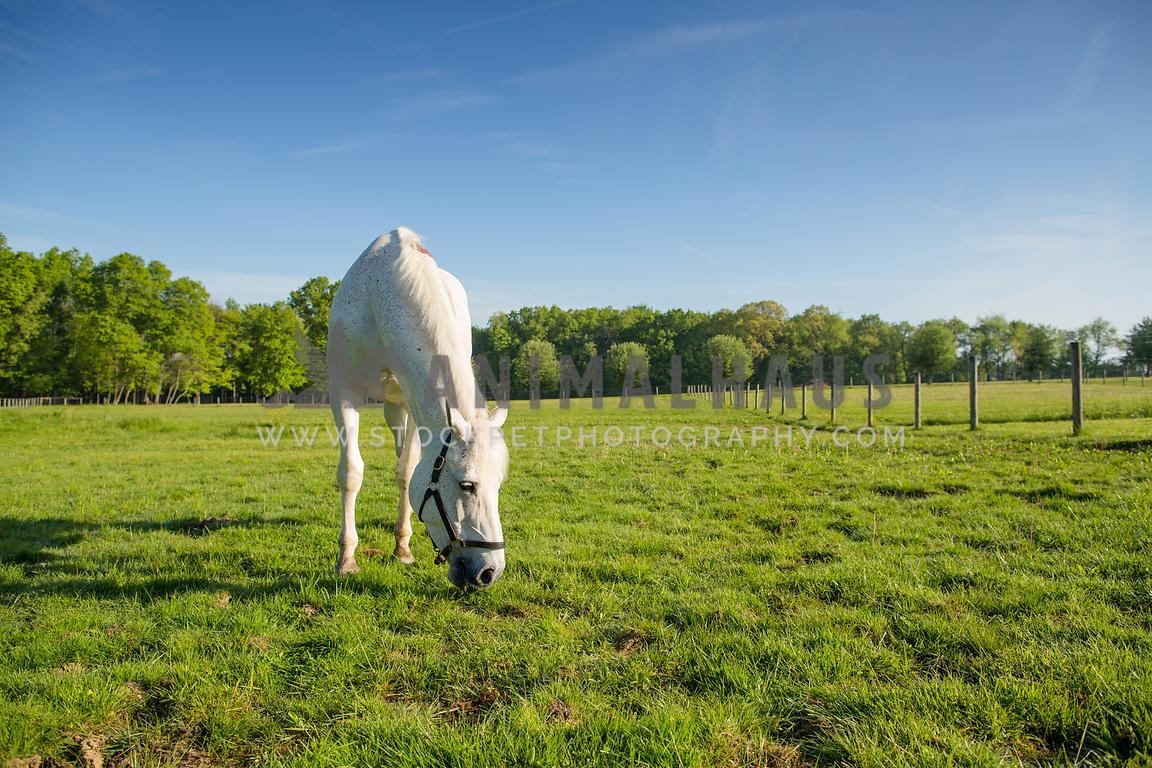 white horse grazing in pasture with blue sky