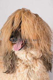 Afgan Hound Studio Portrait with hair in eyes