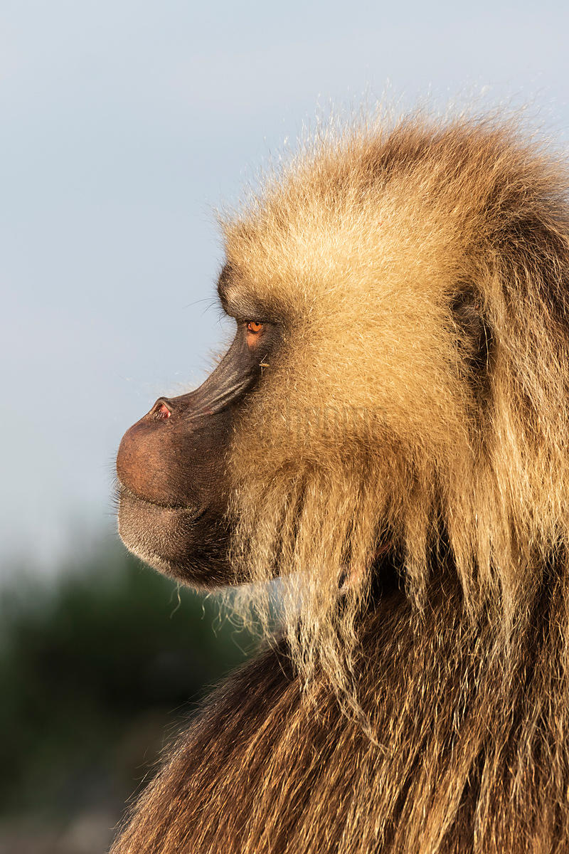 Portrait of a Gelada Baboon