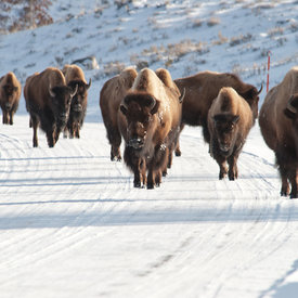 Bison wildlife photos