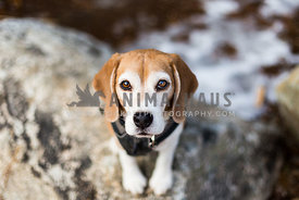 beagle on rock with winter snow