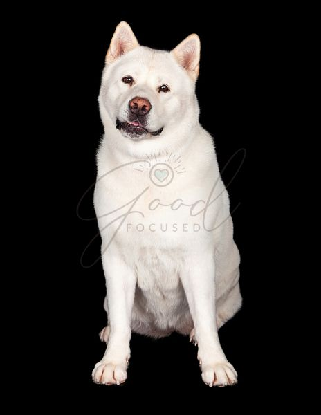 Adorable Akita Dog Sitting Over Black Background