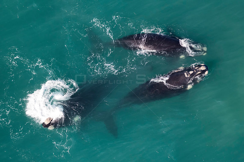 Southern right whales (Eubalaena australis) aerial view of three adullts engaged in social activity, photographed with the pe...