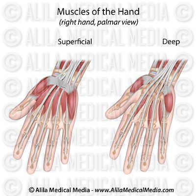Muscle layers of the hand