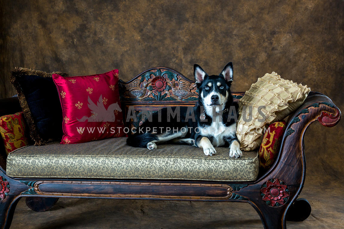 Outstanding Animalhaus Media Husky Mix Laying On Ornate Sofa With Pillows Gmtry Best Dining Table And Chair Ideas Images Gmtryco